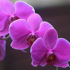 Rumyana Whitcher - Trio Purple Orchid Flower