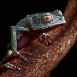 Dirk Ercken - Tropical Amazon rain forest tree frog