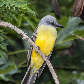 Craig Lapsley - tropical Kingbird on a branch