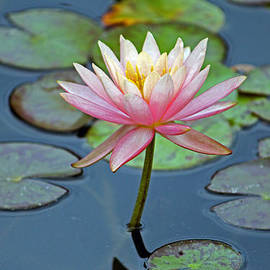 Cynthia Guinn - Tropical Pink Lily