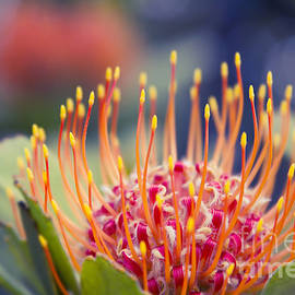 Sharon Mau - Tropical Sunburst - Leucospermum Pincushion Protea Flower Kula Maui Hawaii