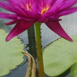 Charlotte Gray - Tropical water lily