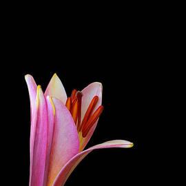 Judy Whitton - Trumpet Lily