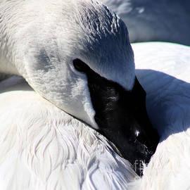 Sue Harper - Trumpeter Swan Resting
