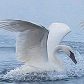 Patti Deters - Trumpeter Swans Touchdown