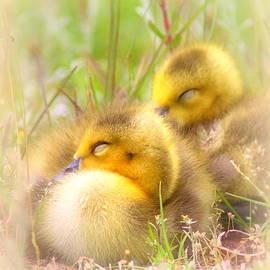 Travis Truelove - Tuckered Out - Goose - Bird - Babies