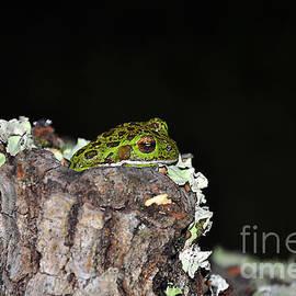 Al Powell Photography USA - Tuckered Tree Frog