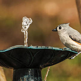 Michael Whitaker - Tufted Titmouse Getting A Drink