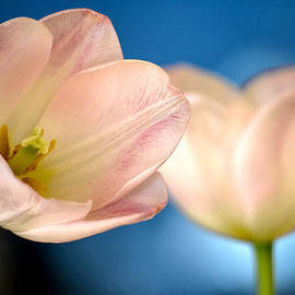 Deb Halloran - Tulip Blues