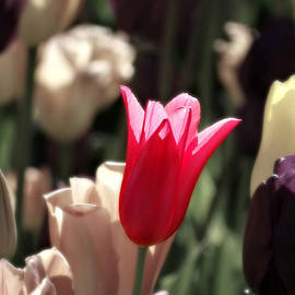 Brenda Conrad - Tulip