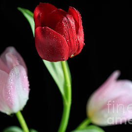 Tracy  Hall - Tulip Diamonds
