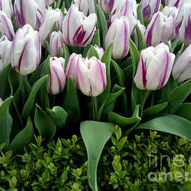 Hanza Turgul - Tulip Festival - 31