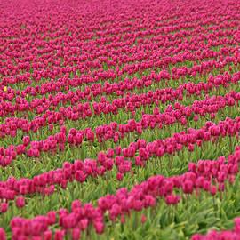 Peggy Collins - Tulip Festival in Mount Vernon