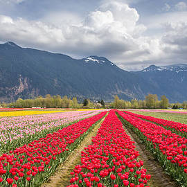 Pierre Leclerc Photography - Tulip field in the mountains