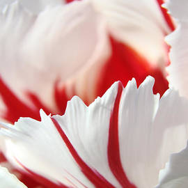 Baslee Troutman - Tulip Flower art prints White Pink Red Tulips