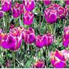 Bruce Nutting - Tulip Garden