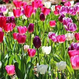 Cynthia Guinn - Tulip Garden