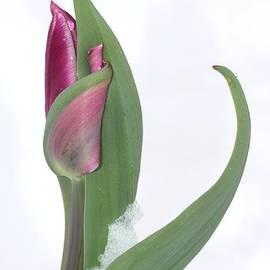Andrea Lazar - Tulip in the Snow