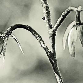 Tulip Poplar Empty Seed Heads - Black and White