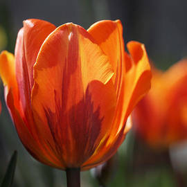 Rona Black - Tulip Prinses Irene