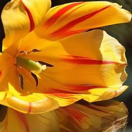Andrea Lazar - Tulip Reflections
