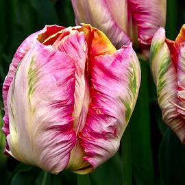 Bob VonDrachek - Tulips 02