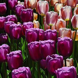 David Lunde - Tulips 1