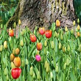 Cynthia Guinn - Tulips Around The Tree