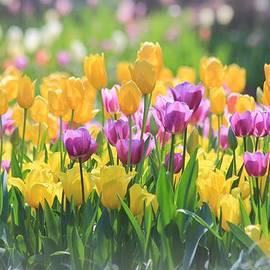 Elizabeth Budd - Tulips