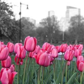 Galexa Ch - Tulips