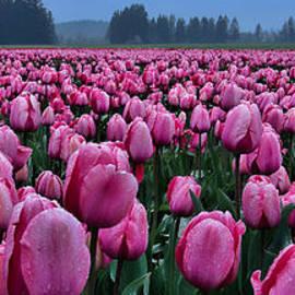 Don Schwartz - Tulips Galore