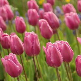 Jeff Swan - Tulips In A Gentle Breeze