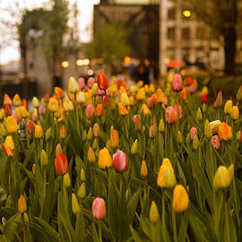 Miguel Winterpacht - Tulips in Chicago