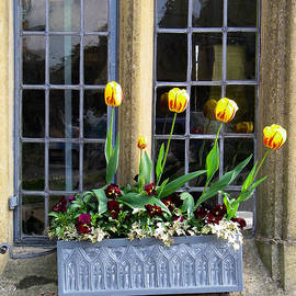 Robert Ford - Tulips in Window box Broadway Village Cotswold District England