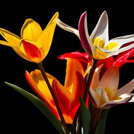 Alexander Senin - Tulips On Black