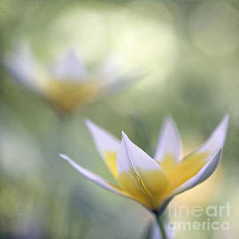 Uma Wirth - Tulips