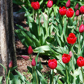 Aimee L Maher Photography and Art - Tulips Under The Tree
