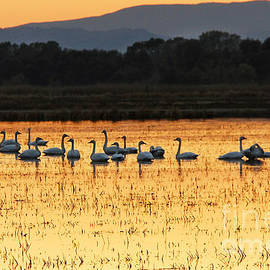 Robert Woodward - Tundra Swans in a Rice Field