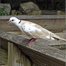 Ella Kaye Dickey - Turtle Dove - Symbol of Peace
