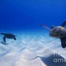 Sean Davey - Turtle Pair