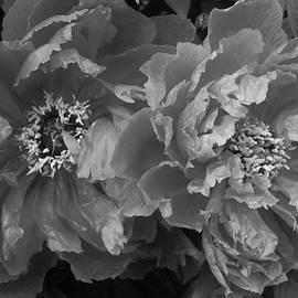 Bruce Bley - Twin Peonies in Black and White