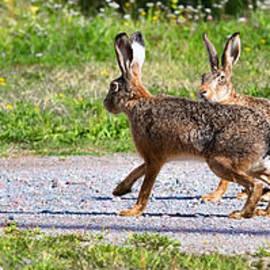 Leif Sohlman - Two hares one sitting and one walking the way when the first one is viewing the environment