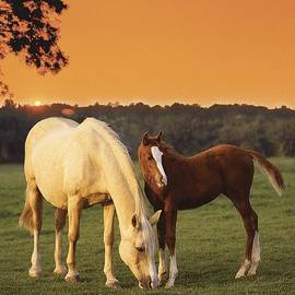 Greg Cuddiford - Two Horses And Sunset