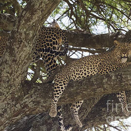 Chris Scroggins - Two Leopards in a Tree