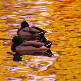 Jeff  Swan - Two mallards on golden water