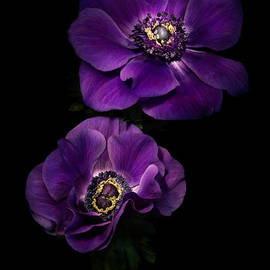 Ann Garrett - Two Purple Anemones