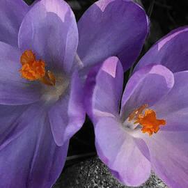 Richard Andrews - Two Purple Crocuses