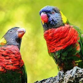 Two Rainbow Lories