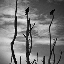 Bradley R Youngberg - Two Vultures On Dead Trees