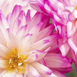 Daphne Sampson - Two White And Pink Decorative Dahlias